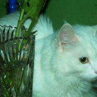 Кошка Беляна. Где хочу, там и сижу :: татьяна
