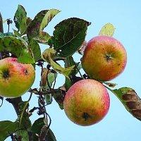 Без ГМО :: Маргарита Батырева