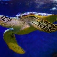 морская черепаха :: alex graf