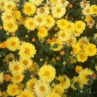 Осенние солнышки :: марина ковшова