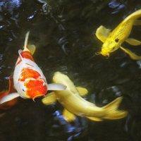 Рыбка золотая, подари мне... Тайские зарисовки. :: Сергей Калиновский