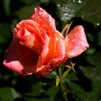 Просто роза :: Александр Крупский