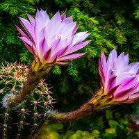 Цветение кактуса :: Vsevolod Boicenka