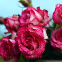 Розы в моем саду :: Олеся