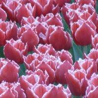 тюльпаны :: Taina