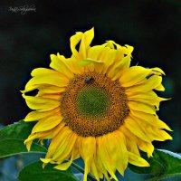 Немного солнца в пасмурный день... :: Ирина Solo
