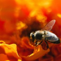 Пчелка опыляет цветок :: Сергей Алексеев