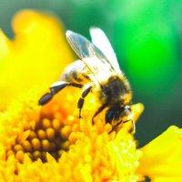 Пчелка в работе) :: Сергей Алексеев