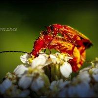 Любовь двоем,на цветке. :: Arturas Barysas