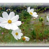 Белые космеи. :: Чария Зоя