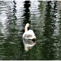 Белый лебедь на пруду :: Наталья
