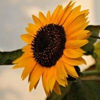 Подсолнечное солнце. :: владимир