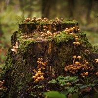 Пень с грибами :: Алексей Строганов