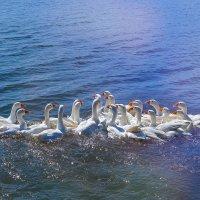 Белые гуси :: Таня Харитонова
