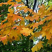 Кленовые листья кружат :: Елена Семигина