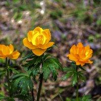 Своенравные цветы - жарки. :: юрий Амосов