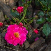 «…Любима роза, без сомненья, Природы дивное творенье…» :: Андрей Нибылица