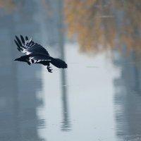 Крылья цвета антрацит :: Екатерина Торганская