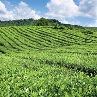 Чайная плантация :: nifaed