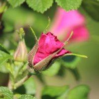 Бутон дикой розы :: Виталий  Селиванов
