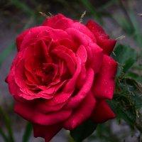 Роза летнего вечера... :: Виктор Бусель