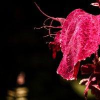 Лист пурпурного цвета. :: Alla