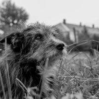Старый пёс :: Владимир Голиков