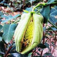 Экзотический плод :: татьяна