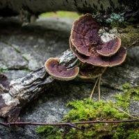 Древесные грибы :: Дмитрий Лемещук