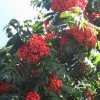 Чарующий стан в убранстве оранжево-красных гроздей :: Надежда