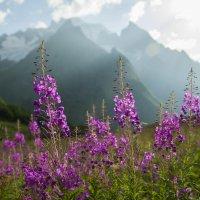 Иван-чай - Царь альпийских лугов :: Евгений Khripp