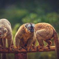 Два и еще половина лемура...Лемурляндия.Мадагаскар! :: Александр Вивчарик