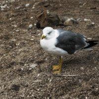 Ходит чайка по песку - рыбакам сулит тоску :: Shapiro Svetlana