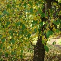 Желто-зеленая осень :: марина ковшова