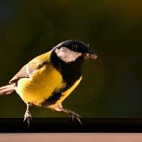 синичка :: linnud