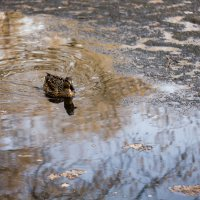 Утка в пруду :: Руслан