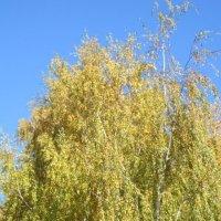 Разбросала косы жёлтые берёза :: Дмитрий Никитин