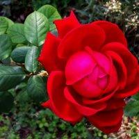 Красная красотка :: Светлана