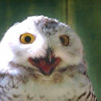 белая сова :: Лидия Юсупова