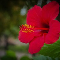 китайская роза :: олеся тронько