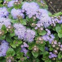 Агератум, или Долгоцветка (Ageratum houstonianum) :: Елена Павлова (Смолова)