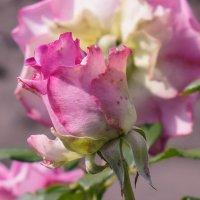 Роза :: Анжелина Пилихосова