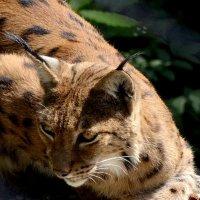 отдыхающая рысь :: Сергей Короленко