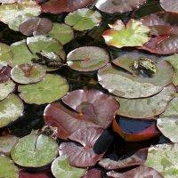 Животные Туркменистана - жабы :: Elena Соломенцева