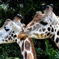 жирафы :: Сергей Короленко
