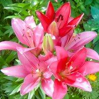 В саду лилии :: Лариса Димитрова