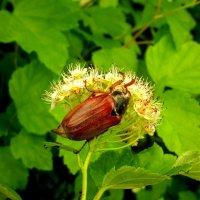 майский жук за трапезой :: Александр Прокудин