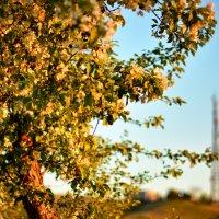 Яблоня на закате :: Юрий Фёдоров