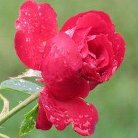Серия розы под дождём. :: Вячеслав Медведев