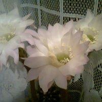 цветение :: Лара